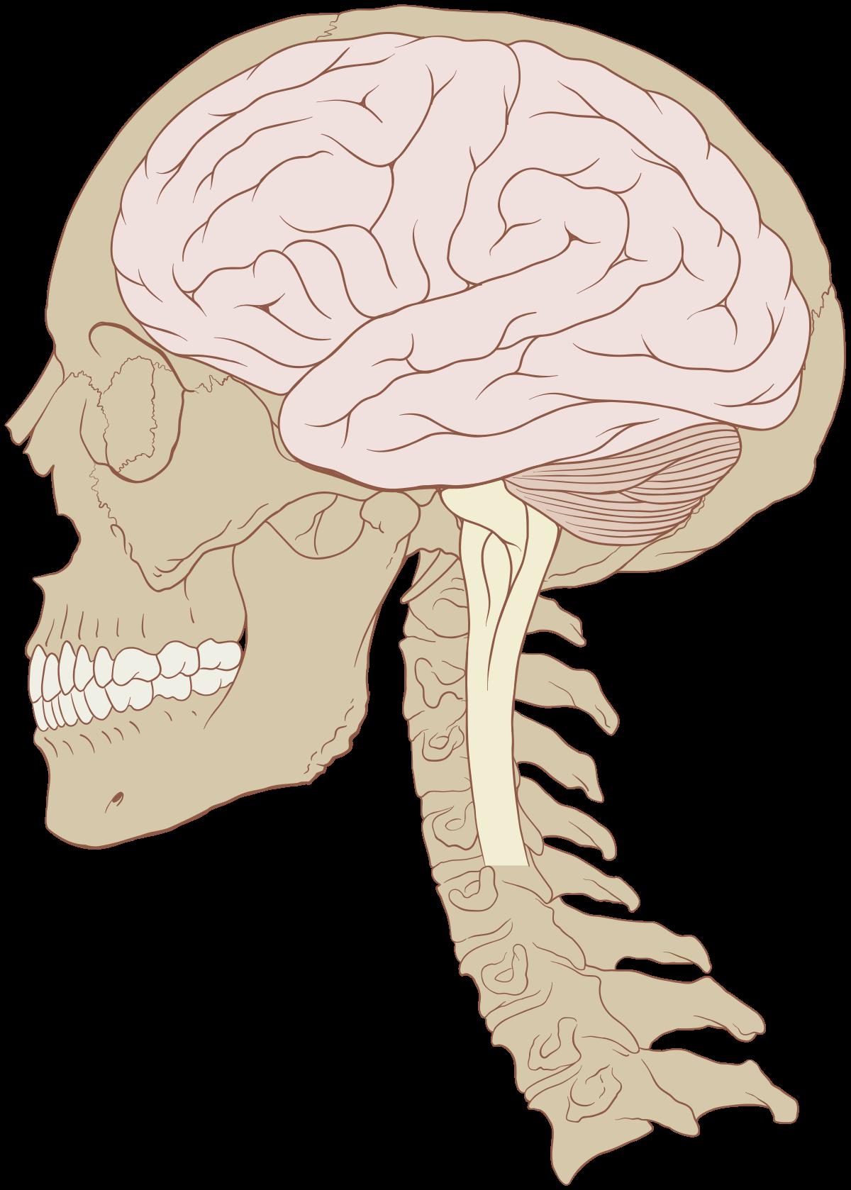 a látásért felelős agy)