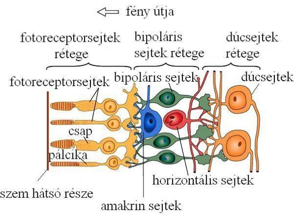 szemészeti marfan szindróma