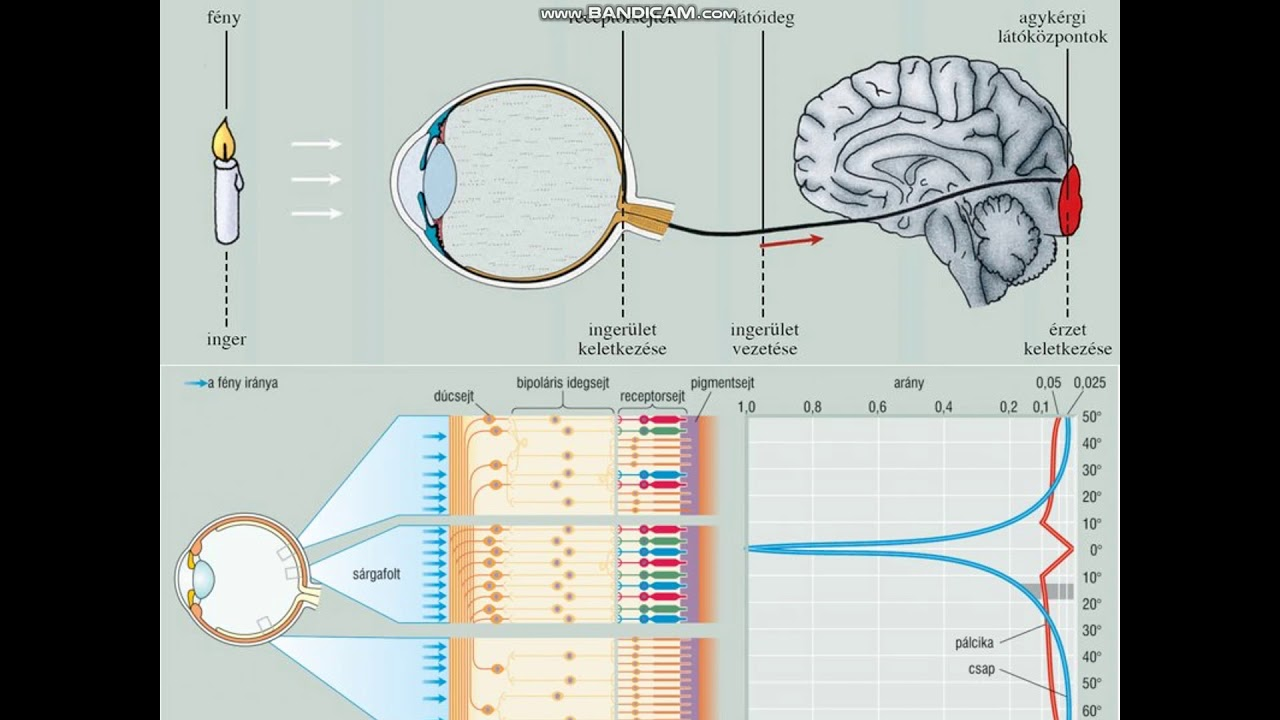 látásélesség 0 mennyi mínusz az agy látási része