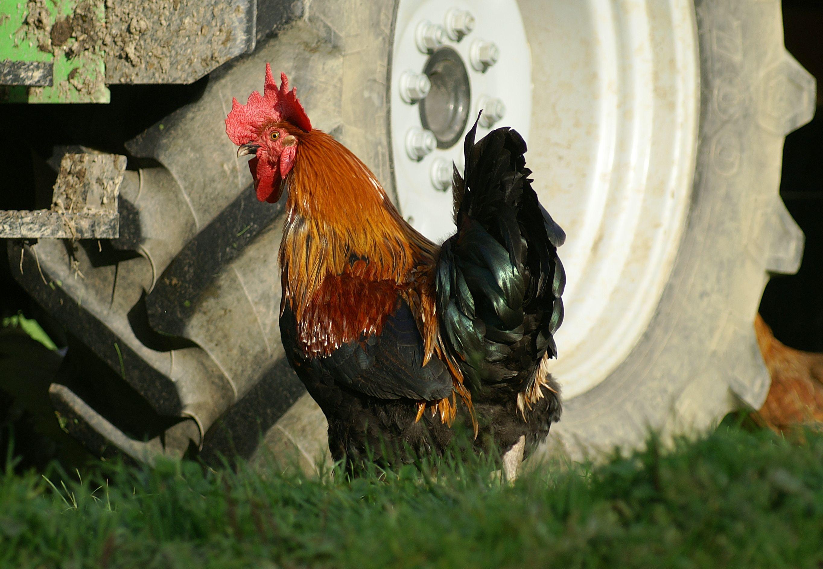 csirkék látásbetegségei)