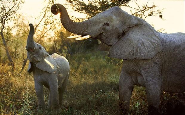Az elefántok is felfoghatják a halál értelmét