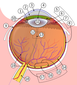 szemszerkezet emberi látás)