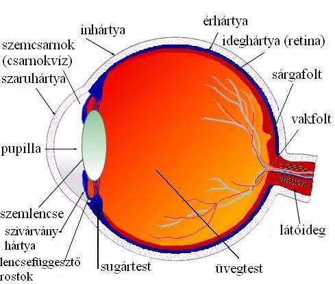 nagy pupillák és rövidlátás