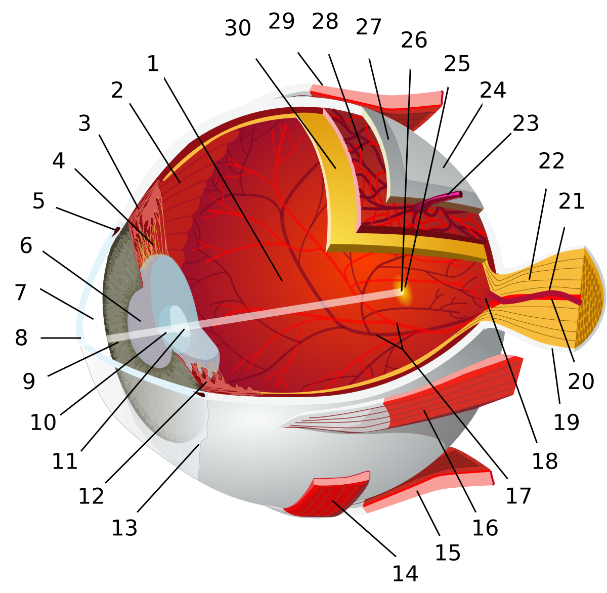 Mi, micsoda a szemészeti szakzsargonban? 1. rész - Optimum Szemészet