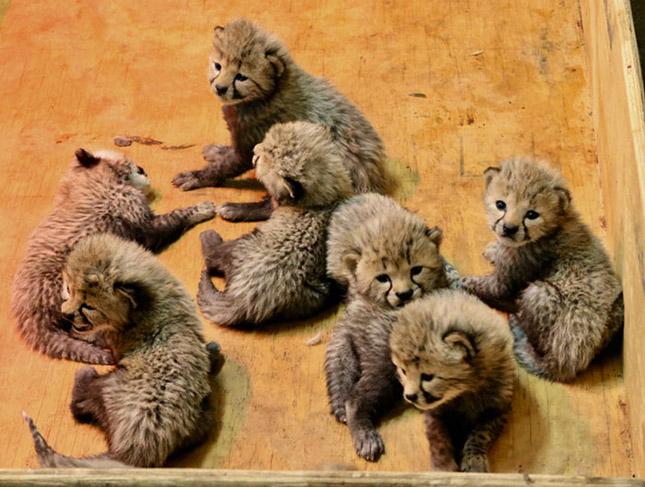 A Gepárdok újra az