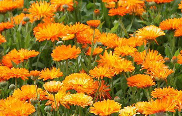 Calamus gyökér és körömvirág látásra: vélemények, receptek és eredmények