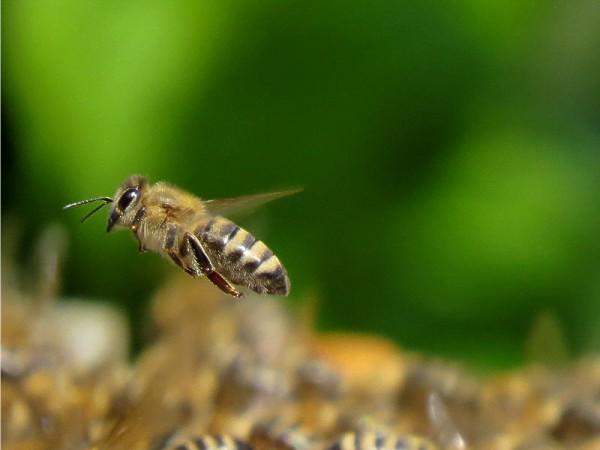 Méh pollen a látásért
