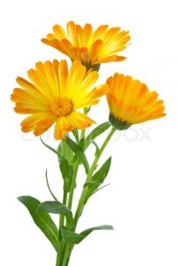 Körömvirág. Gyógyhatása. (Calendula officinalis).
