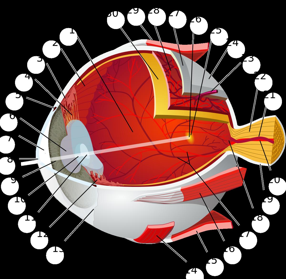 a látást befolyásoló artéria)