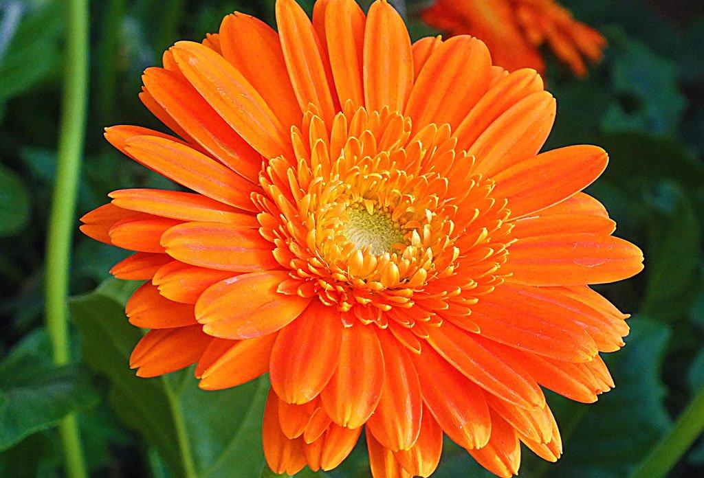 Körömvirág:görcsoldó, fertőtlenítő, gyulladás csökkentő