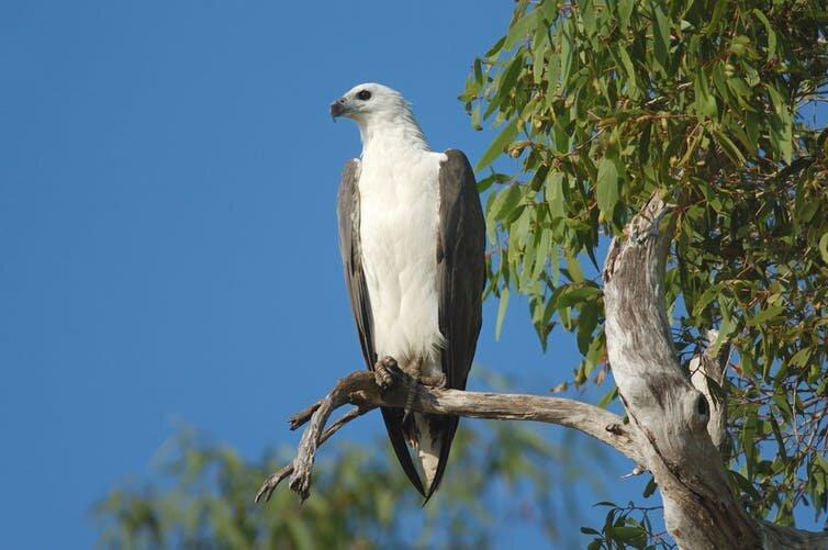 mi a kakadu-látás