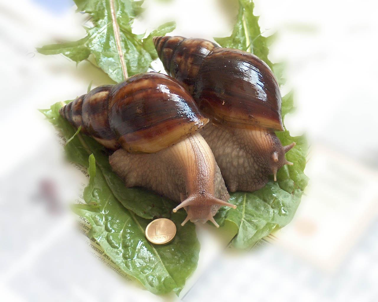 Mi az Achatina csigák látványa
