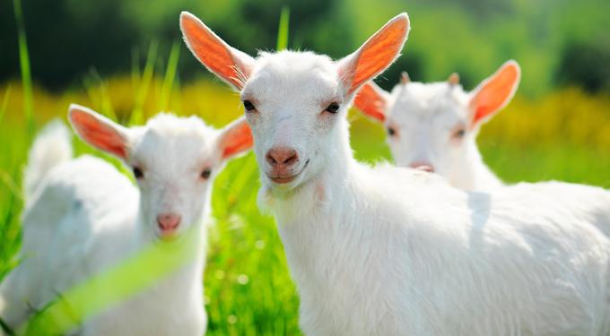 látás és kecsketej