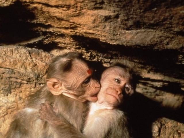 majom nézete