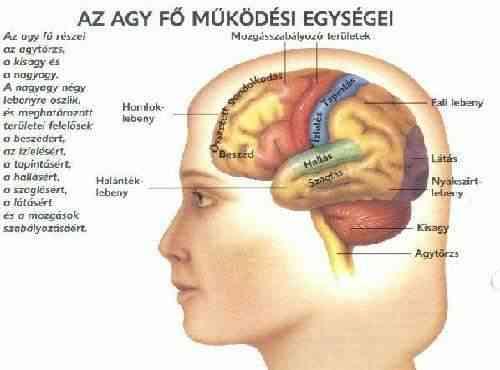 a látásért felelős agy