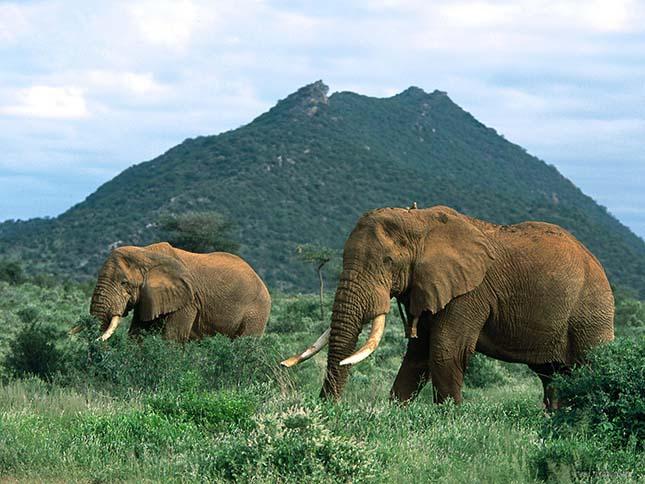 Sokkal kevesebb afrikai elefánt van, mint gondoltuk