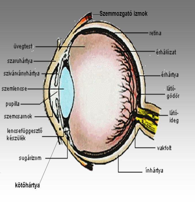 gyenge látás, hogyan lehet megtudni 6 százalékos látás