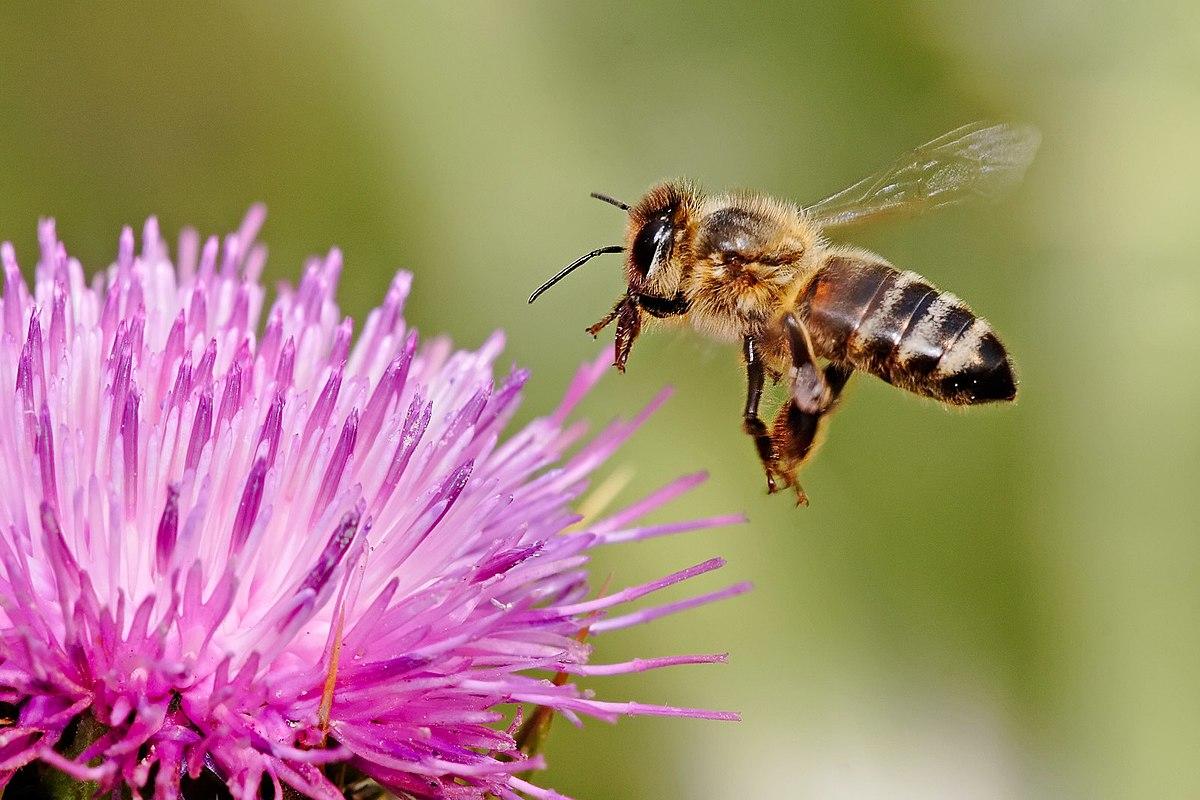 méh pollen látásra